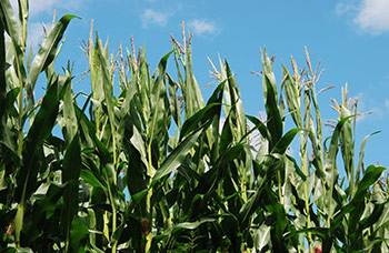 corn stalks at tasseling stage